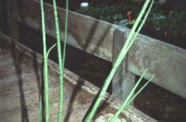 Sansevieria sulcata [bacularis]