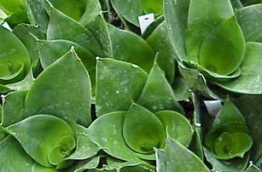 Sansevieria trifasciata hahnii Jade