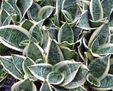 Sansevieria trifasciata hahnii marginated