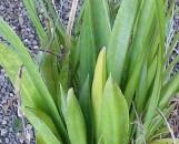 Sansevieria trifasciata nelsonii