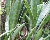 Sansevieria socotra [hort] x fisheri