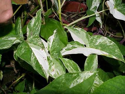 Syngonium Podophyllum Albo Variegatum Glasshouse Works