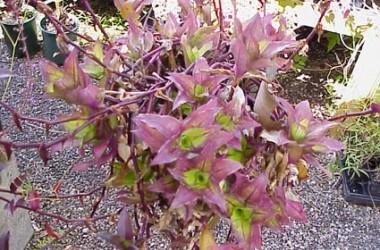 Tripogandra serrulata 'Purple Scimitars'