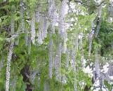Wisteria floribunda [multijuga] macrobotrys