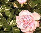 Rosa verschuren [hyb]