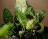 Aglaonema commutatum maculatum variegatum