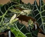 Alocasia amazonica aureo-variegata
