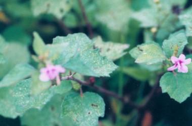 Anemone vitifolia robustissima [hort]