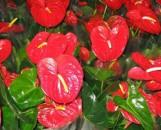 Anthurium andreanum Pepsi Love