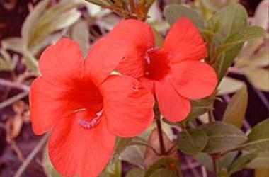 Barleria repens rosea Violet Cascade
