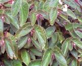 Begonia Ginny [hyb]