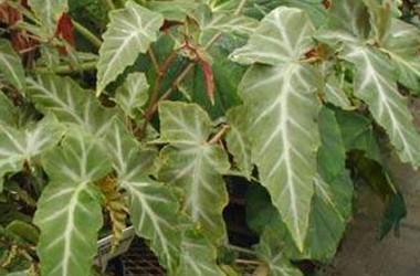 Begonia Grey Feather [hyb]