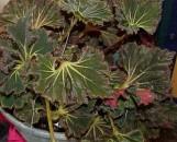 Begonia Hocking Tutu Terror [hyb]