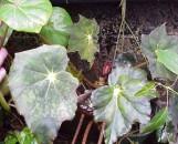 Begonia Joe Hayden [hyb]
