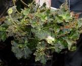 Begonia Ken's Kandy [hyb]