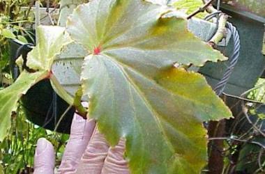 Begonia Kentwood [hyb]