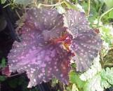 Begonia Super Kurl [hyb]