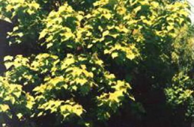 Catalpa bignonioides aurea