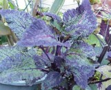 Coleus Alligator