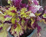 Coleus Fancy Free
