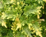 Coleus Frizzy Yellow