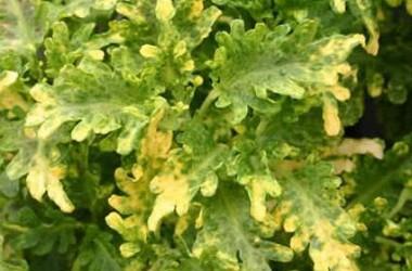 Coleus Frizzy Yellow