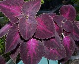 Coleus Grape Expectations