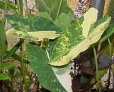Colocasia esculenta Sunny Splash