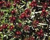 Dianthus barbatus nigrescens Black Adder