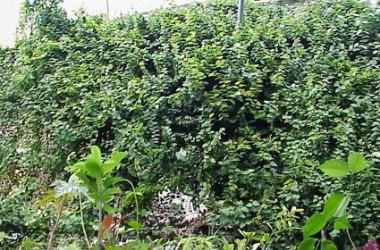 Ficus pumila [repens]