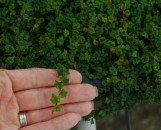 Ficus pumila [repens] quercifolia