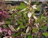 Hibiscus rosa-sinensis cooperi