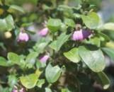 Justicia petiolaris bowiei