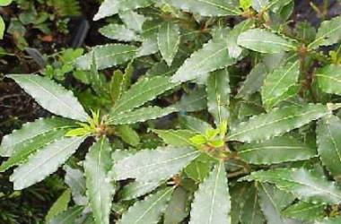 Laurus nobilis crispa [undulata]
