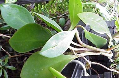 Peperomia Guatamala Selby 78-725