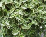 Peperomia distichia [scandens] variegata