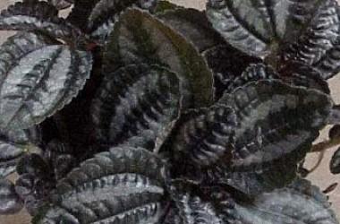 Pilea spruceana Norfolk