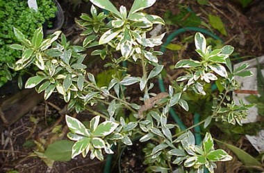 Pittosporum heterophyllum marginatum