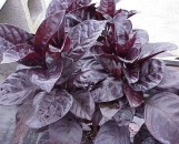 Pseuderanthemum atropurpureum rubrum