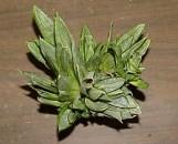 Sansevieria trifasciata hahnii Silver Frost