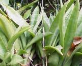 Sansevieria javanica