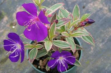 Tibouchina lepidota variegata
