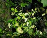 Trachelospermum asiaticum Ogon Nishiki