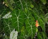 Alocasia micholitziana maxkowskii