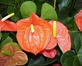 Anthurium andreanum Bright Orange