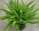 Protasparagus densiflorus meyerii