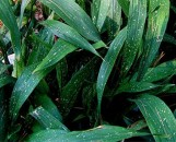 Aspidistra elatior minor Milky Way