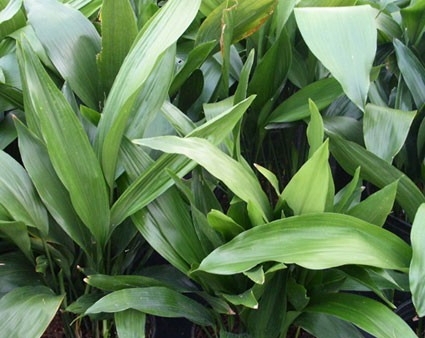 Aspidistra eliator for Plante interieur