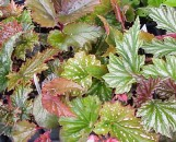 Begonia Cane Types Collection (5 Plants)
