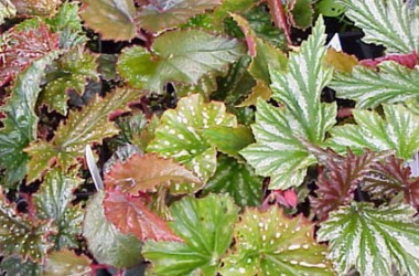 Begonia Cane Types Collection